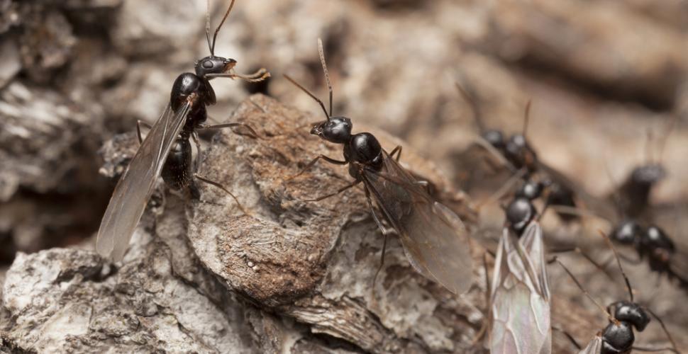 Comment+se+débarrasser+naturellement+des+fourmis+ailées+?