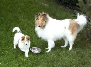 Beautiful White Collie Mom With Her Puppy Rough Collie Collie
