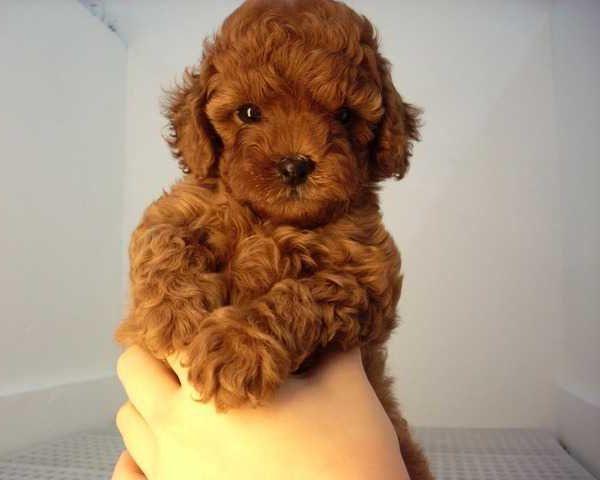 Cucciolo di barboncino toy in vendita da negozio a for Nomi per cani maschi piccoli