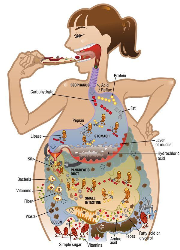 digestivo - Buscar con Google | medizin | Pinterest | Buscar con ...