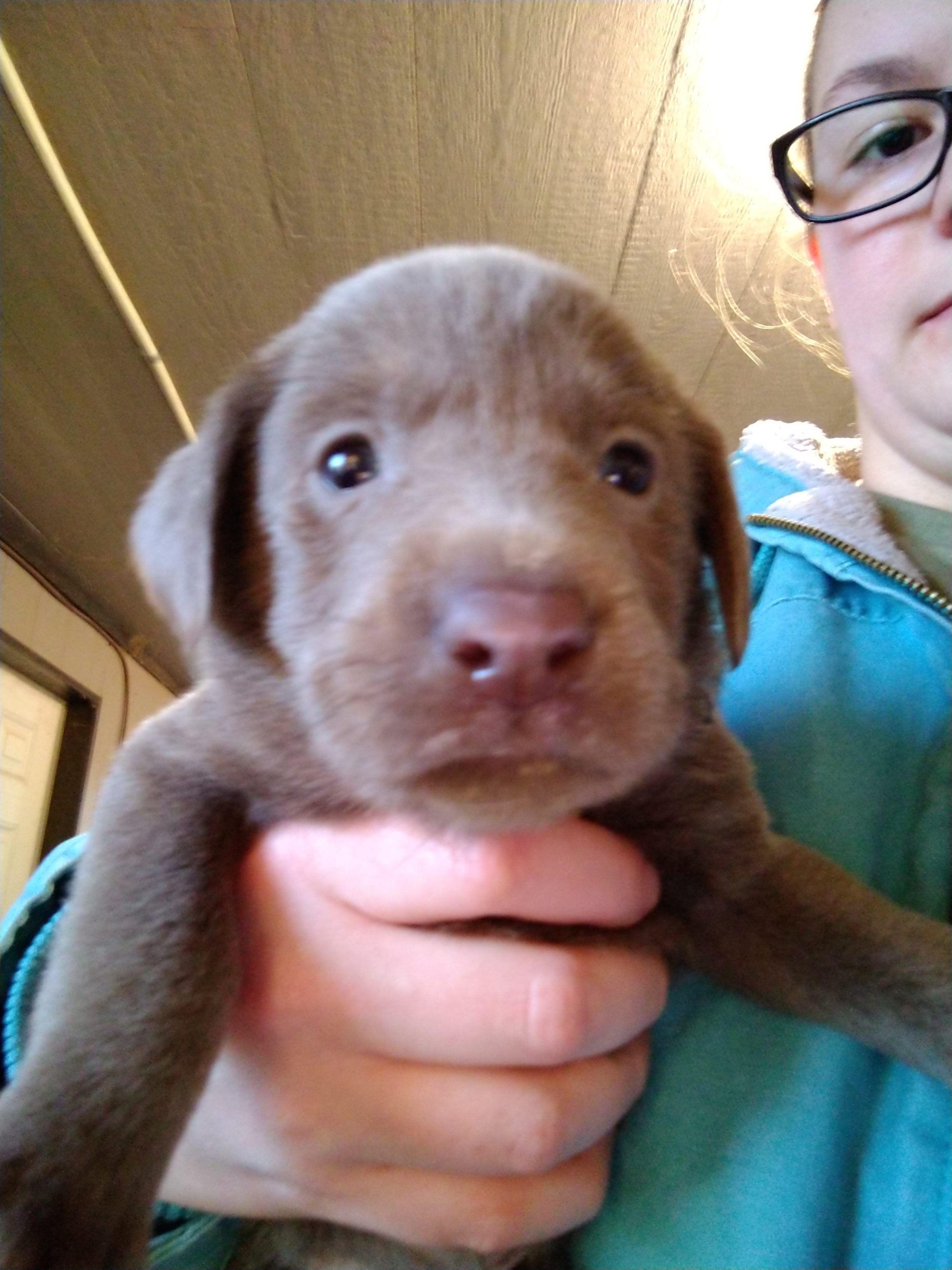 Black Collar Female Akc Labrador Retriever Puppy For Sale In