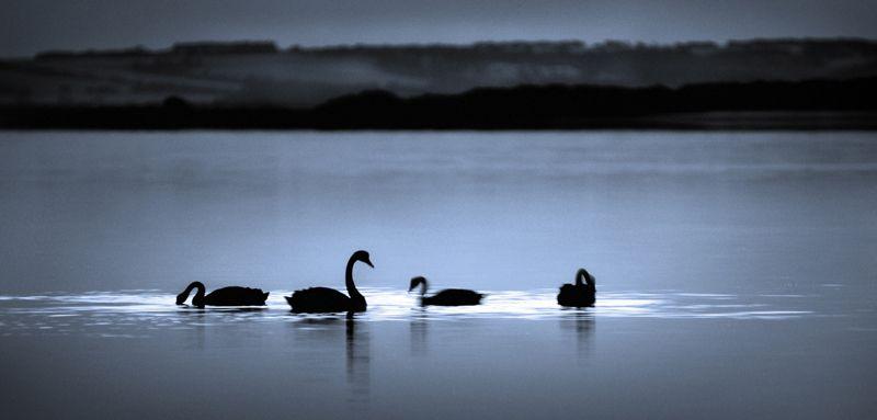 Moonlight swanata by Sean McGowan, South Australia
