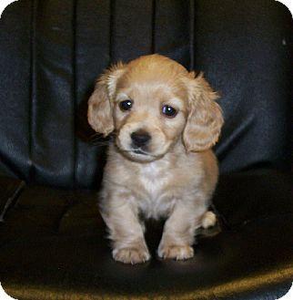 Trenton Nj Cocker Spaniel Dachshund Mix Meet Nate A Puppy For Adoption Http Www Adoptapet Com Pet 120 Kitten Adoption Puppy Adoption Cocker Spaniel Mix