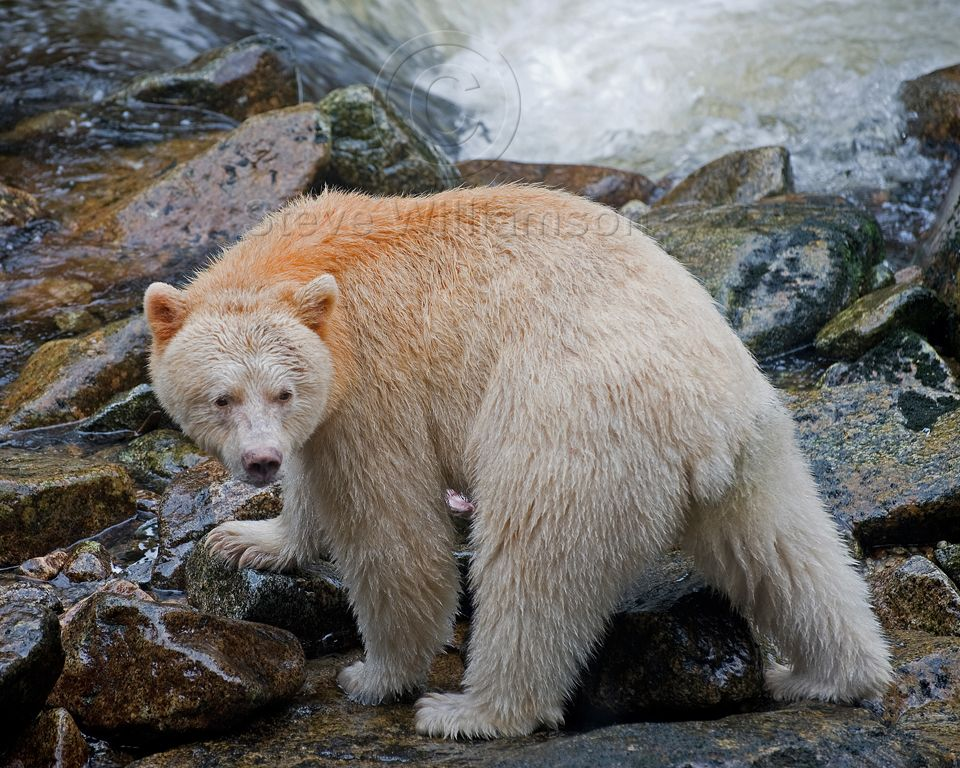SpiritBearLooksBack.jpg (960×768) Bear