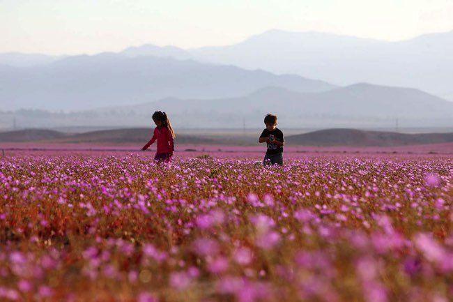 Image result for Atacama Desert in Bloom