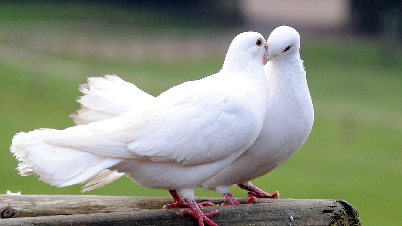La Colombe En 2020 Colombe Oiseau Colombe Blanche Colombie