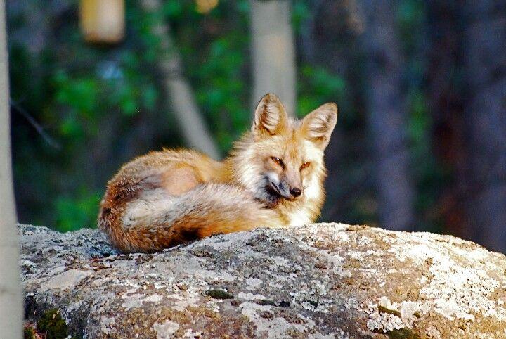 Fox in our back yard - Wondervu, Colorado