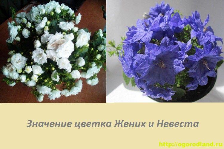 Цветок Жених и Невеста (Кампанула). Приметы и поверья ...