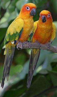 sun conure parrot info