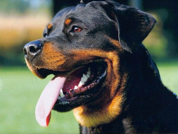 So many different dog breeds have the natural instinct to protect territories and their families. It's hard to choose just 10 breeds out of the hundreds that exist. Each and every dog breed was originally bred for specific purposes such as protection, hunting, pulling, guarding, fighting, herding, rescuing and s
