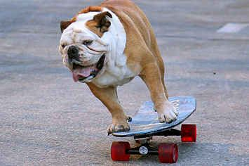 Tillman The Famous Skateboarding Bulldog Has Died Bulldog