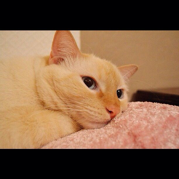 Dean the Flame point Siamese with big blue eyes & pink