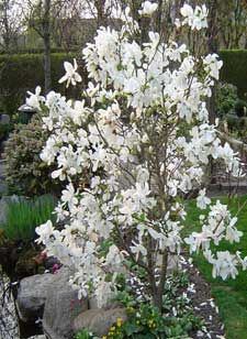 Magnolia merrill great outdoors pinterest magnolia shrub and merrill magnolia in bloom early spring flowering trees mightylinksfo Images