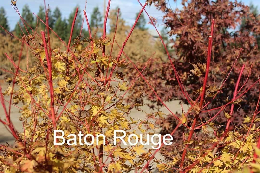 Baton Rouge Japanese maple Japanese maple, Japanese