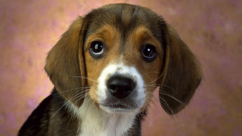 dogs puppies beagle