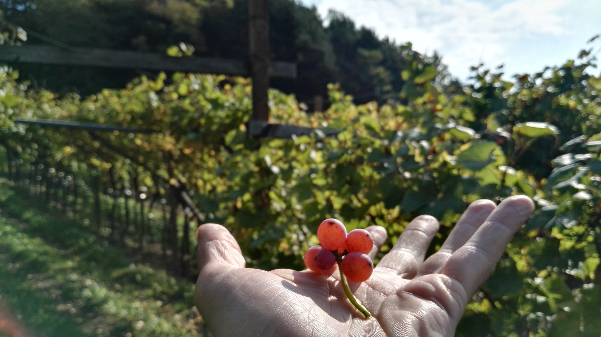 #mezzacorona #wine #vino #vinotube #trentino #dolomite #rotari #trentodoc #cembra