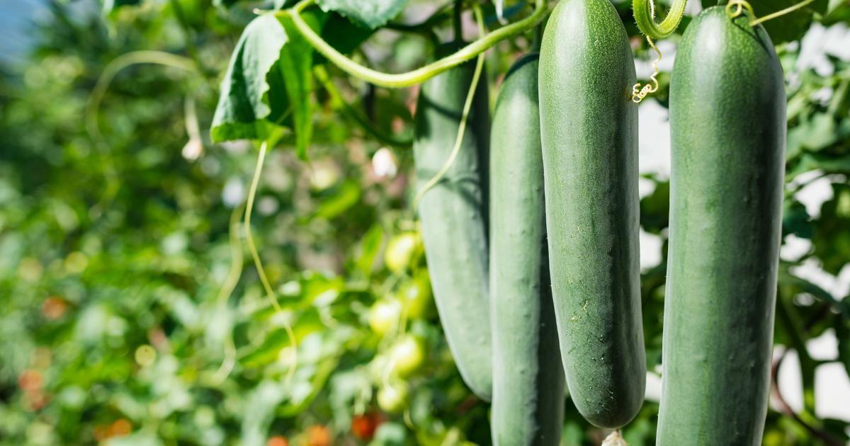 Gurken Sind Nicht Gleich Gurken Das Beliebte Gemuse Gibt Es Als Feldgurken Salatgurken Oder Einlegegurken In Garten Diy Gartenprojekte Salatgurken Pflanzen
