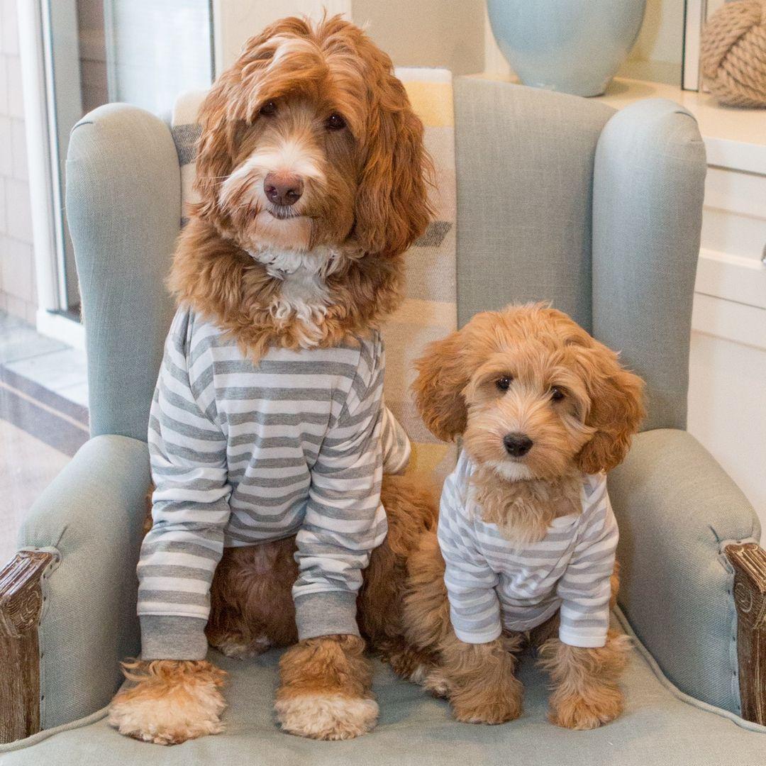 Reagandoodle Australian Labradoodle Puppies in pajamas