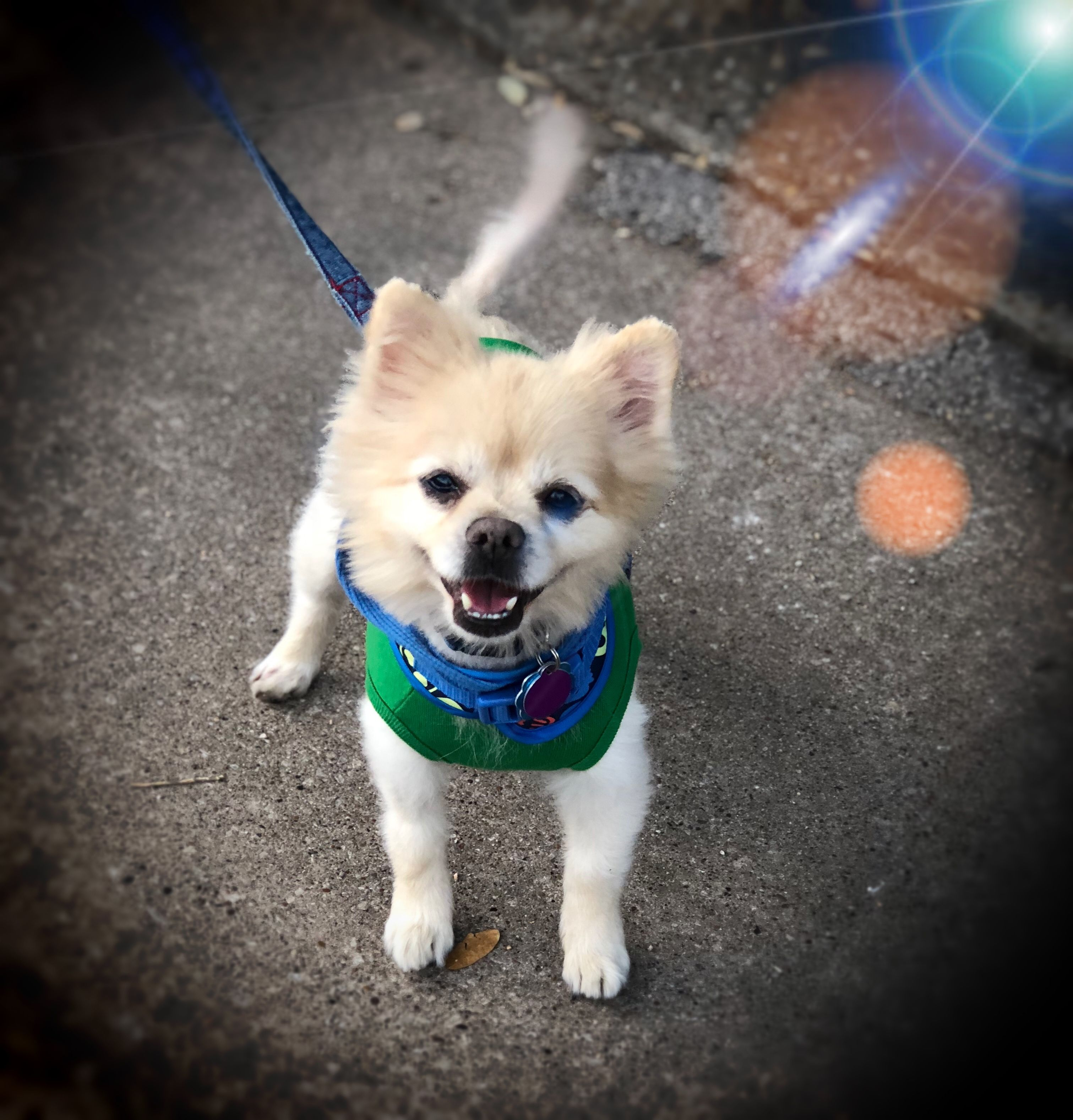 Pomeranian dog for Adoption in Garland, TX. ADN805816 on