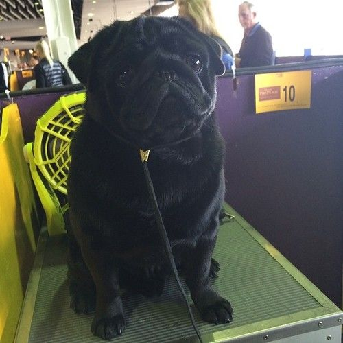 hamiltonpug: Give it up for Reme, the lone black pug at Westminster!