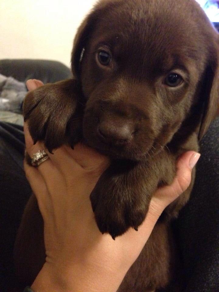 Chocolate Labrador Retriever Puppy Labrador Retriever Labrador