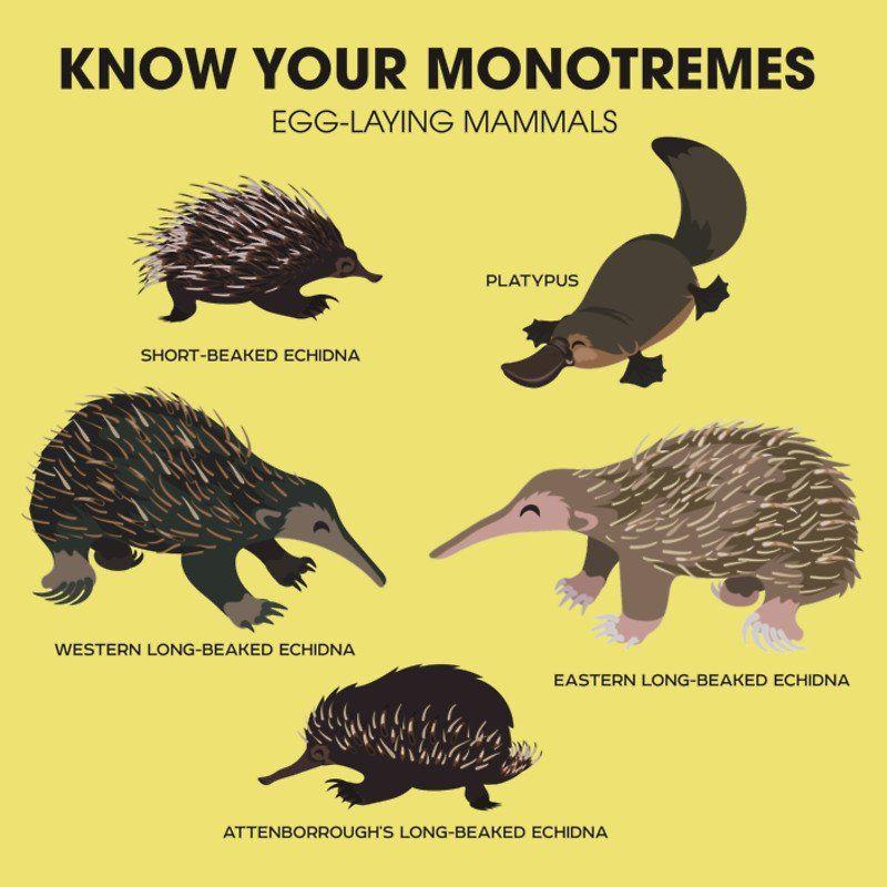 Know Your Monotremes Image C L7t4gxuaacmjsg 800800