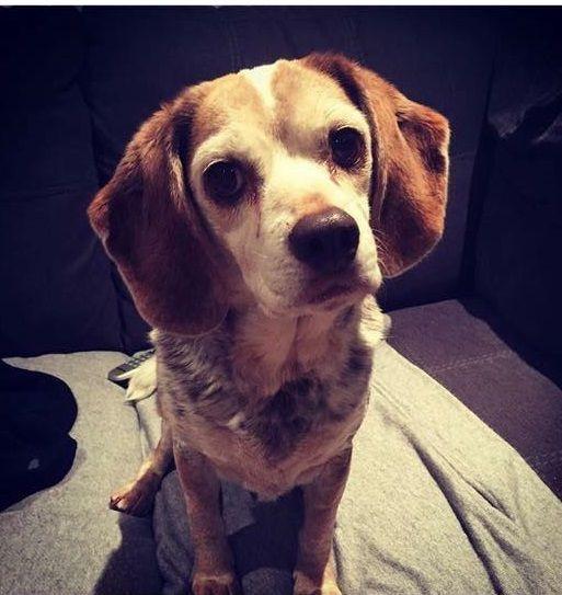 Lost Dog Beagle Milford Ct United States 06460 Gender