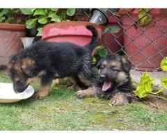 German Shepherd Puppies For Sale In Good Amount German Shepherd