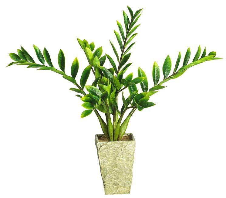 Piante Grasse Da Appartamento Zamioculcas.Zamia Zamioculcas Zamiifolia Zamioculcas Zamioculcas