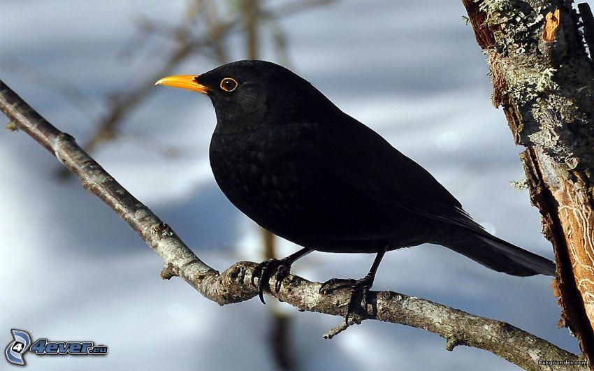 Amsel Aste Mit Bildern Hintergrund Vogel Vogel Fotos