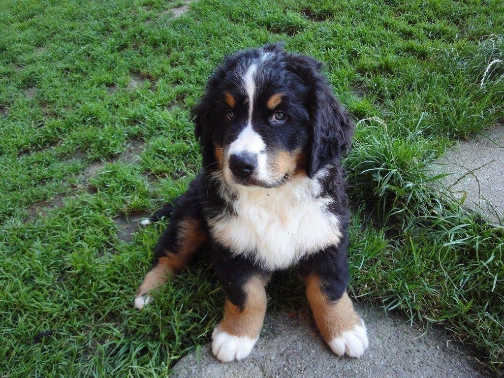Bernese Mountain Dog Puppy Pet Wallpaper