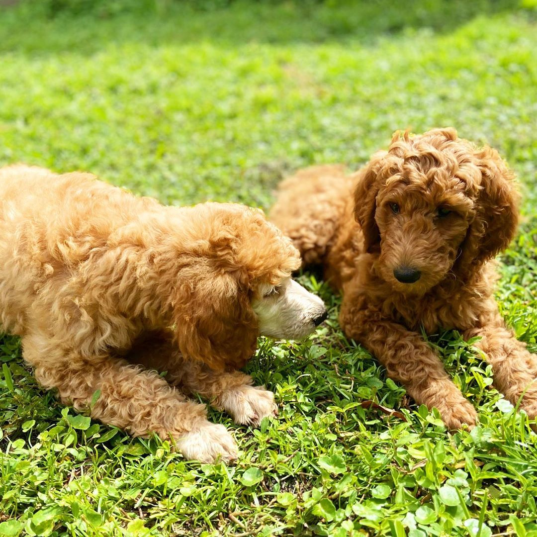 "Meet Louie & Lily🐾 on Instagram: ""The look when I'm trying to tell Lily a little secret. She's not trying to hear it! 🐾 #apricotpoodle #poodlepuppies #poodlepup…"""