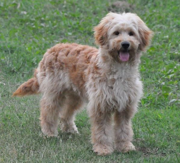 Hummingbird Hill Farm Goldendoodles Goldendoodle Dog Breeder