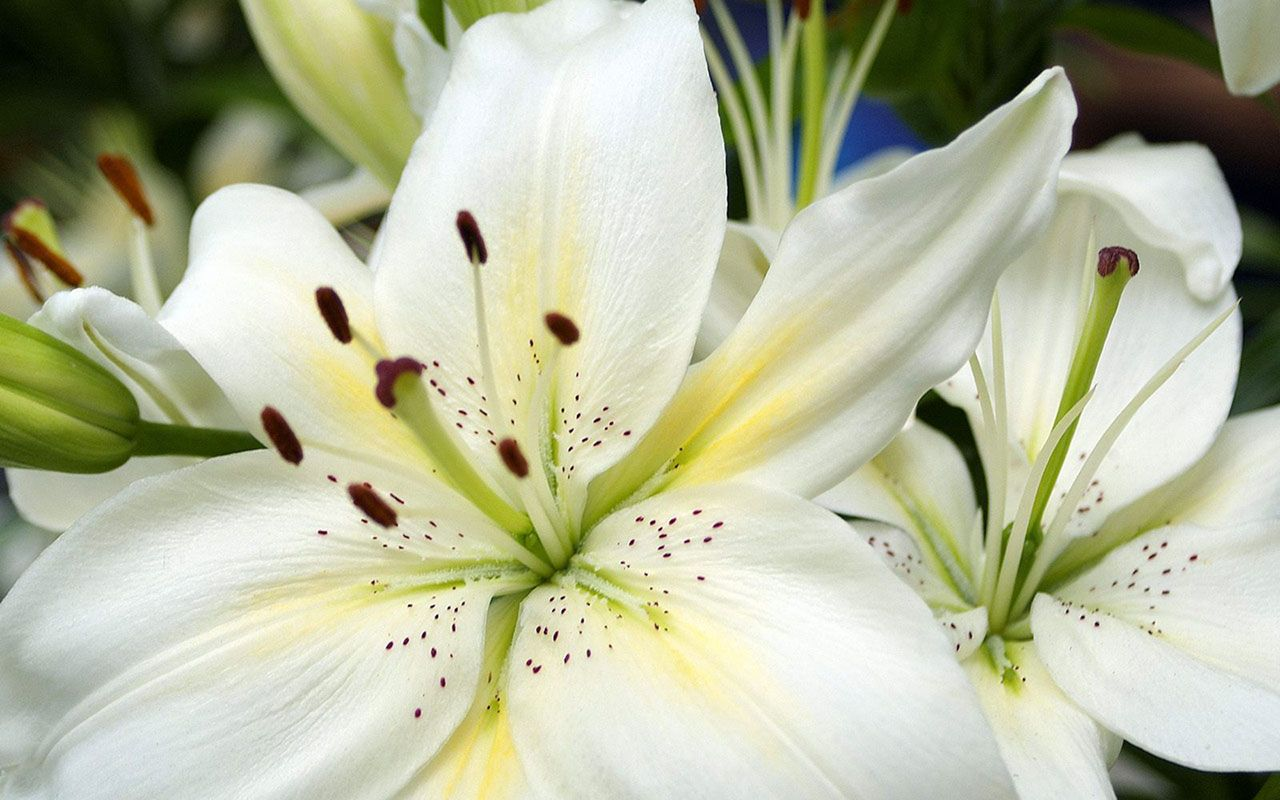 White lily wallpaper flower wallpapers free download wallpapers read the article to find out how to obtain white lily oil and how to use it discover the amazing benefits of white lily oil mightylinksfo Image collections