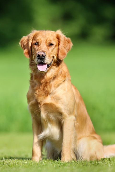 45 Best Large Dog Breeds - Top Big Dogs List and Pictures
