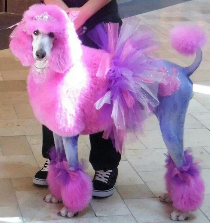 My Goodness A Poodle In A Tutu Poodle Grooming Poodle Poodle Dog
