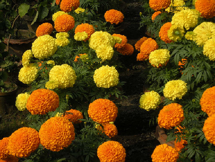 marigold flower or gadagenda ful is a common garden flower in bangladesh - Common Garden Flowers