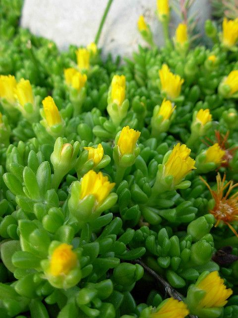Ice Plant Buds Are Opening Succulent Landscaping Planting Succulents Succulent Gardening
