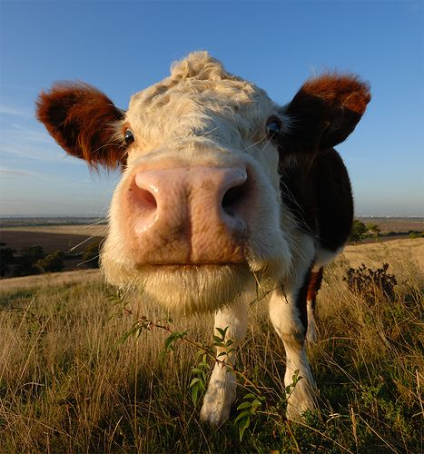 Funny cow picture here 39 s looking at you kid pet cows - Funny pictures farm animals ...