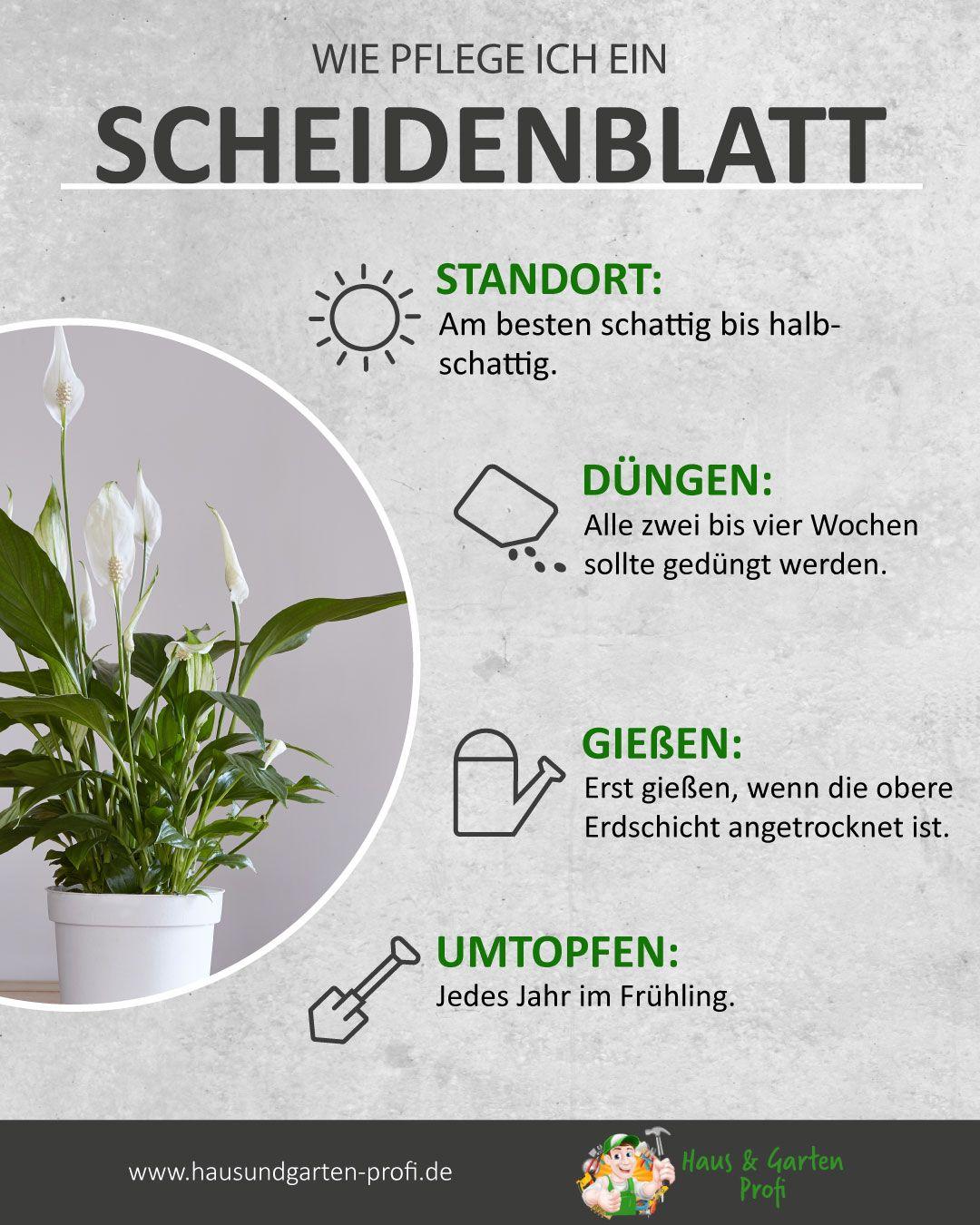 Richtige Pflege für ein Scheidenblatt so einfach kann es gehen (Standort, Düngen, Gießen, Umtopfen)