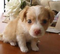 Havanese X Chihuahua Mix Chihuahua Mix Puppies Chihuahua Mix