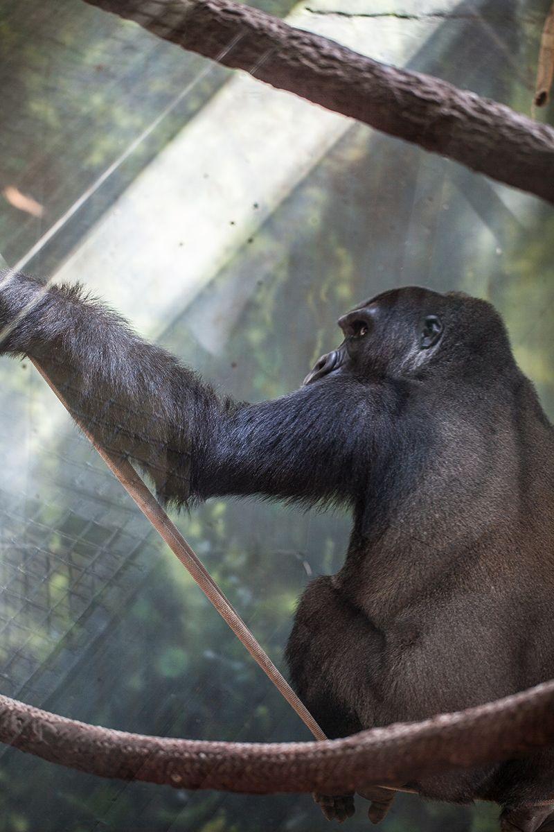 Azizi Western lowland gorilla Zoo, Western lowland gorilla