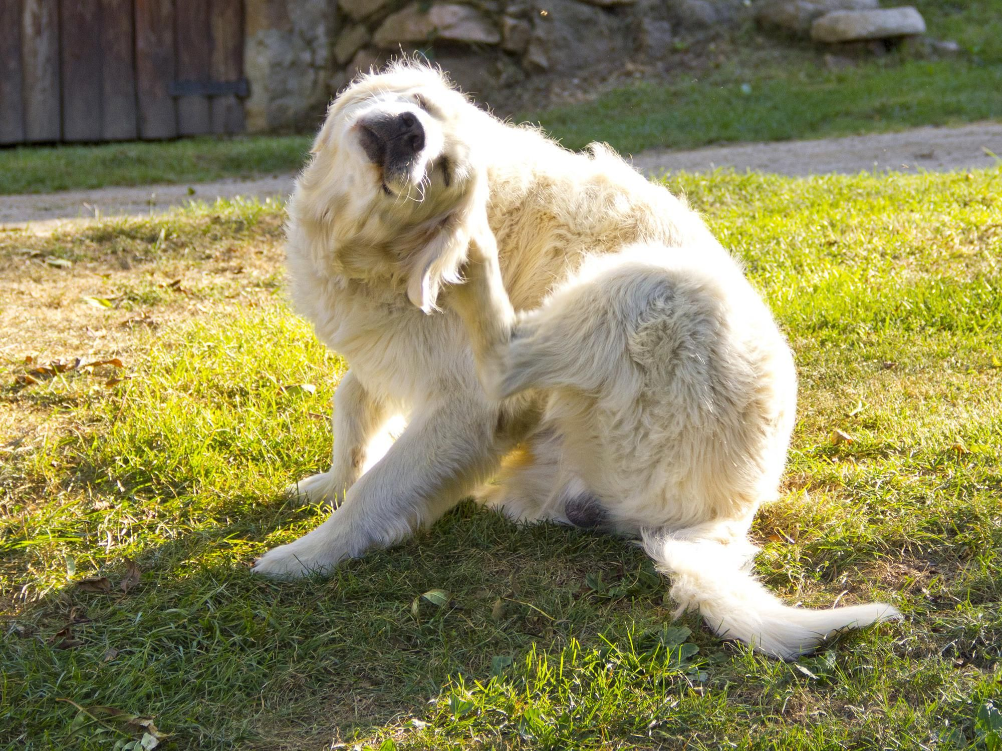 Flea Control Requires Treatments For Pets Home Itchy Dog Itchy Dog Skin Dog Itching