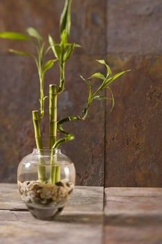 revealed why do lucky bamboo plants turn yellow plantas pinterest plantes. Black Bedroom Furniture Sets. Home Design Ideas