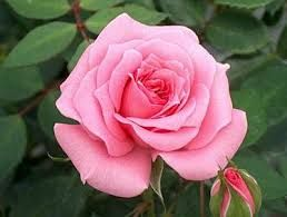 Image Result For Most Beautiful Roses In The World Rose Cultivation Beautiful Pink Roses Rose