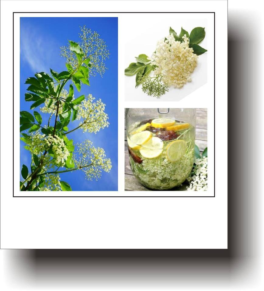 ierburi din plante în varicoză
