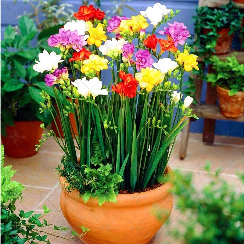 2 Pcs Bag Freesia Bulb Root Gorgeous Diy Garden Colorful Aromatic Floral Plants Indoor Potted Flowe Bulb Flowers Spring Flowering Bulbs Fragrant Flowers