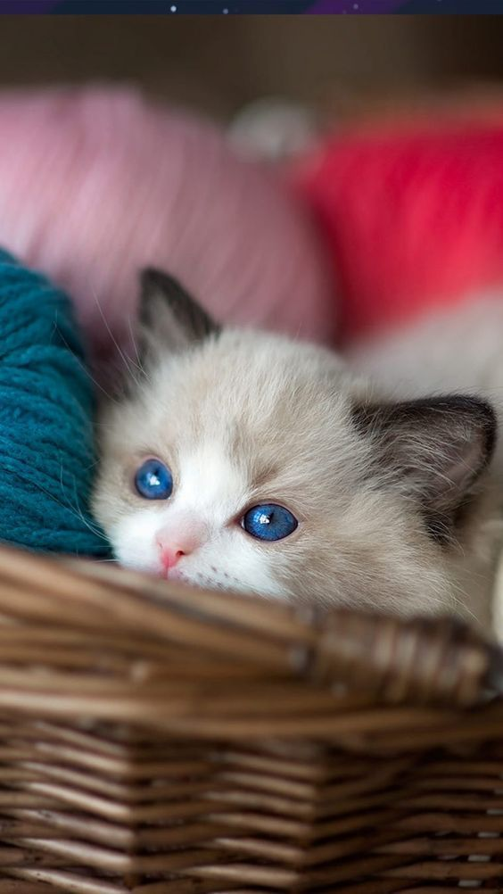 Pin by Cat Lover on In Baskets | Kittens cutest, Cute ...