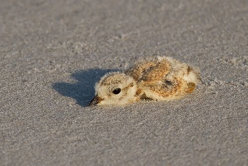 CapeMay_20120529_0038 by Bill7870 on Flickr.  This plover is so done.
