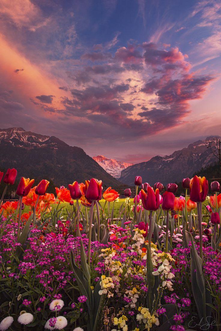 Tulipanes, Interlaken, Suiza in 2019 | Beautiful landscapes, Nature, Landscape